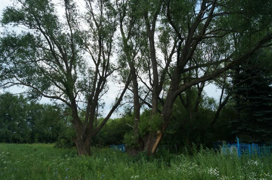 Cвященные ветла  село Актуково