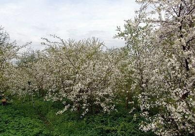 Вишневый сад.музей вишни